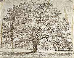 'Stone' Oak Tree on silk